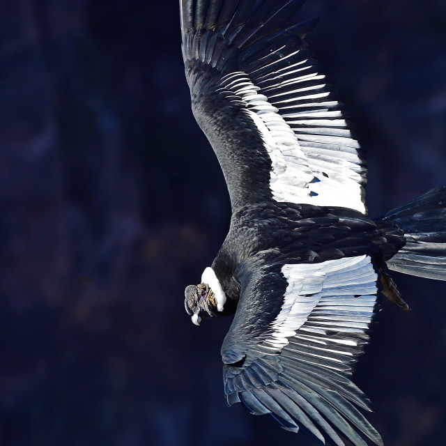 """Andean Condor, Vultur Gryphus, adult male, Patagonia, Argentina, South America"" stock image"
