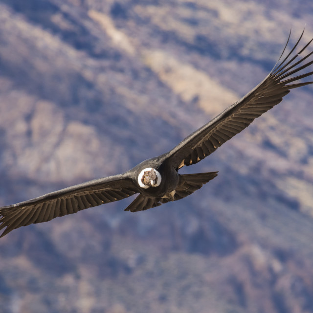 """Andean Condor, Vultur Gryphus, Argentina, Patagonia, South America"" stock image"