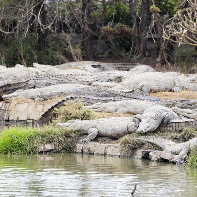 """Madagascar, Antananarivo, Crocodile Farm, Nile crocodile (Crocodylus niloticus)"" stock image"