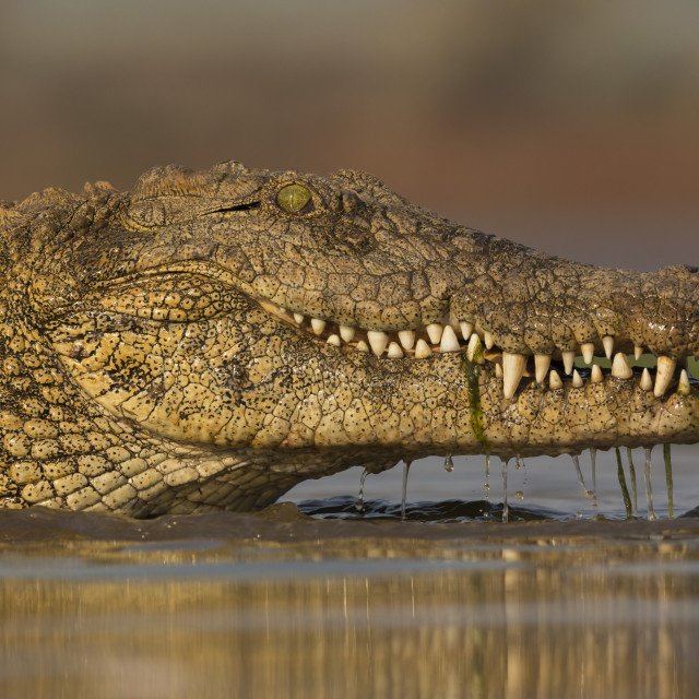 """Nile crocodile (Crocodylus niloticus), Zimanga private game reserve,..."" stock image"