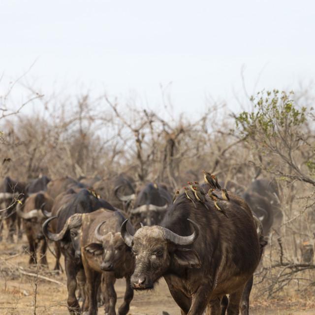 """Cape buffalo (Syncerus caffer) herd, Kruger national park, South Africa,..."" stock image"