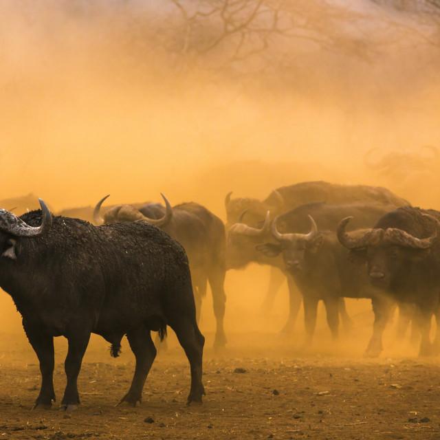 """Cape buffalo (Syncerus caffer) herd, Zimanga private game reserve,..."" stock image"