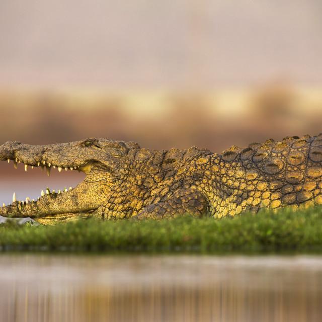 """Nile crocodile (Crocodylus niloticus) Zimanga private game reserve,..."" stock image"