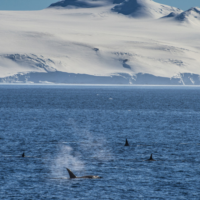 """Killer whales (orcas) (Orcinus orca) hunting, Weddell, Sea, Antarctica, Polar..."" stock image"
