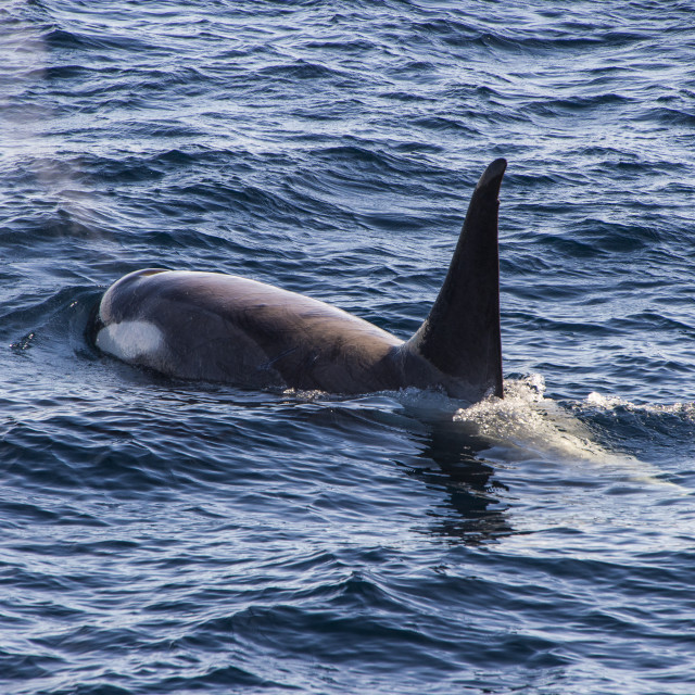 """Killer whale (orca) (Orcinus orca), Weddell, Sea, Antarctica, Polar Regions"" stock image"