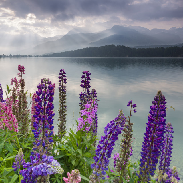 """The multi colored Lupins frame the calm water of Lake Sils at dawn Maloja..."" stock image"