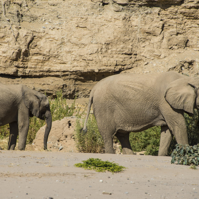"""Desert or African bush elephants (Loxodonta africana), Khurab Reserve,..."" stock image"