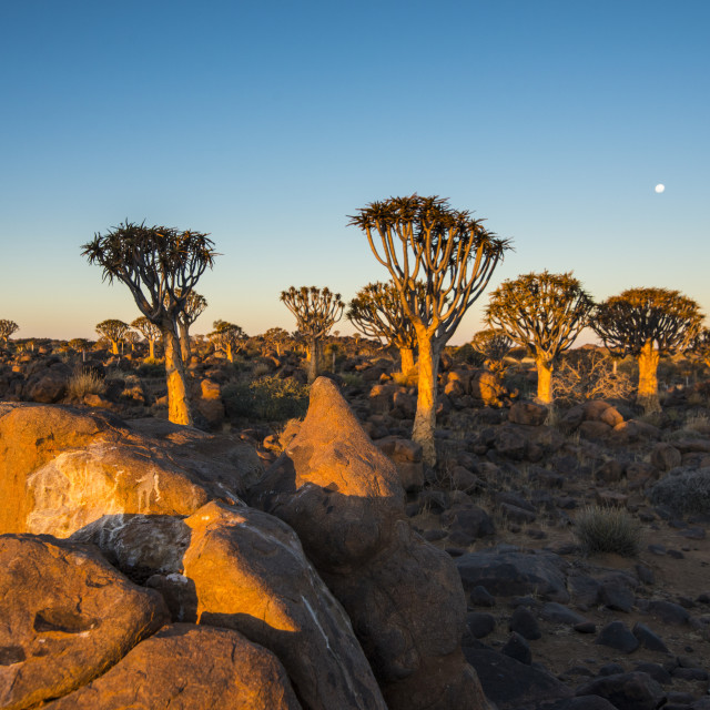 """Quiver tree forest (Aloe dichotoma) at sunset, Gariganus farm, Ketmanshoop,..."" stock image"