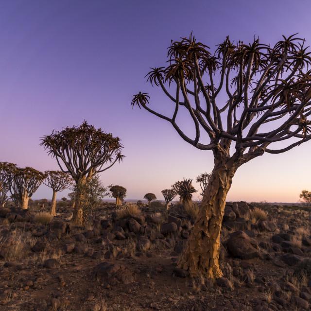 """Quiver tree forest (Aloe dichotoma) at sunset, Gariganus farm, Ketmanshoop,..."" stock image"