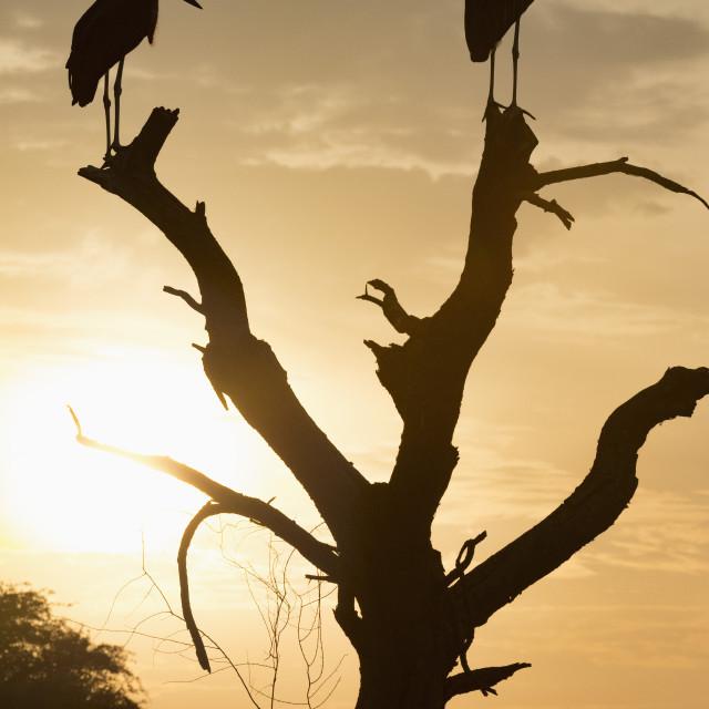 """""""Marabou Stork, Leptoptilos crumenifer"""" stock image"""