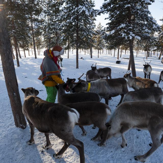 """A young Sami woman feeding raindeers, Nutti Sami village, Jukkasjarvi, Sweden."" stock image"
