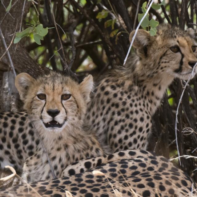 """Cheetah (Acinonyx jubatus), Samburu National Reserve, Kenya."" stock image"