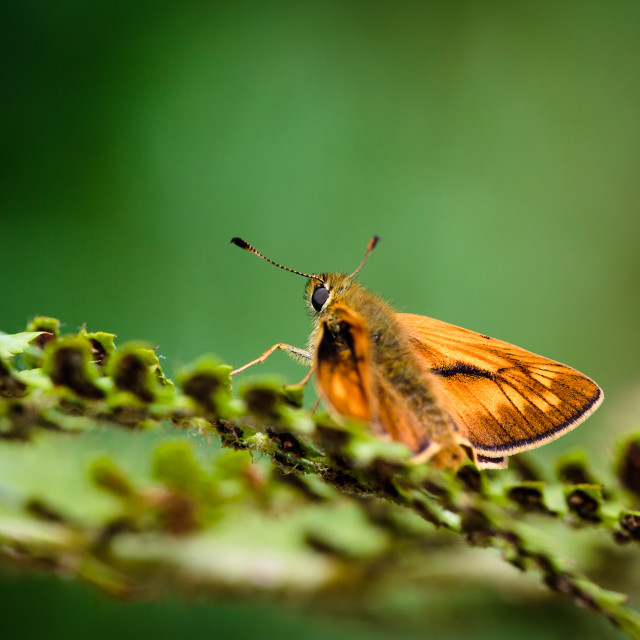 """Large Skipper"" stock image"