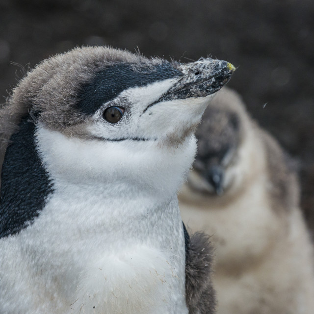 """Chinstrap penguin chick (Pygoscelis antarctica) on a black volcanic beach,..."" stock image"