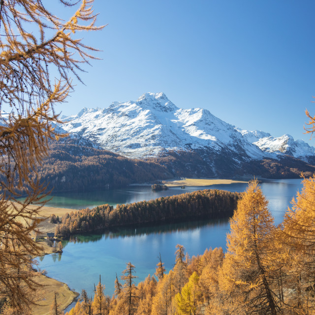 """Colorful woods around Lake Sils framed by snowy peaks in the background..."" stock image"