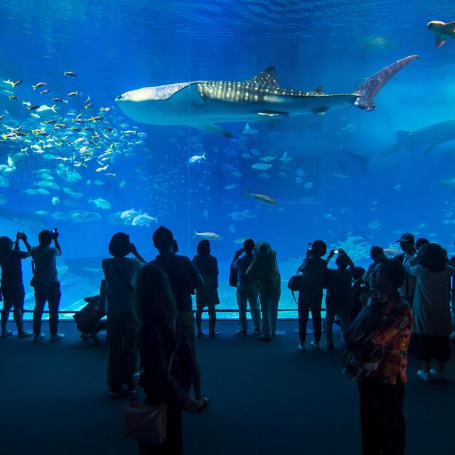 """Whaleshark in the Churaumi Aquarium, Ocean Expo Park, Okinawa, Japan"" stock image"
