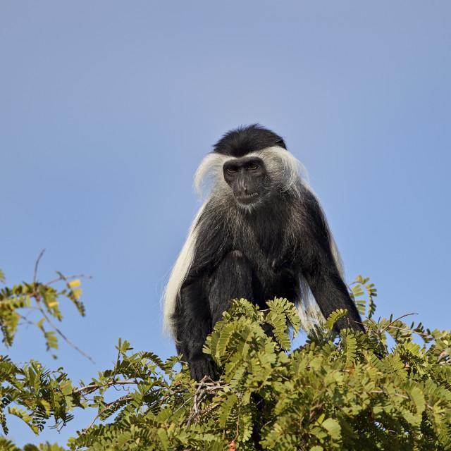 """Angola Colobus, Angolan Black-And-White Colobus, or Angolan Colobus (Colobus..."" stock image"