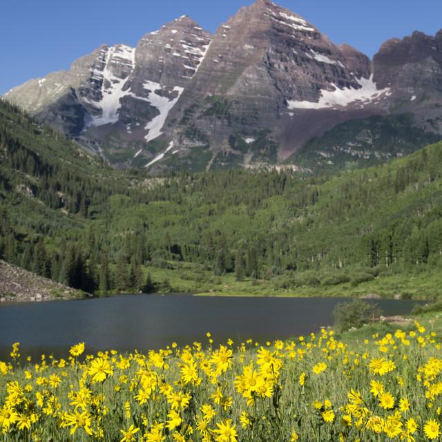 """Alpine Sunflowers (Hymennoxys Grandiflora), Maroon Lake, Maroon Bells Peaks..."" stock image"