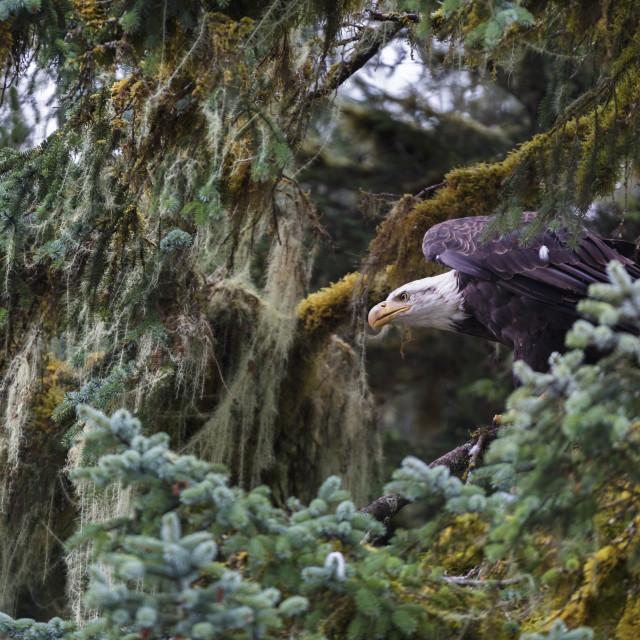 """Bald eagle (Haliaeetus leucocephalus), Prince William Sound, Alaska."" stock image"