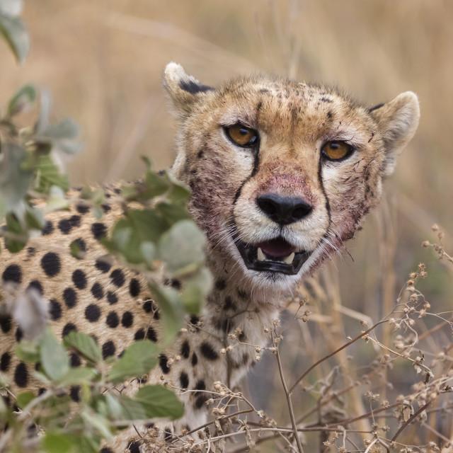 """""""Cheetah (Acinonyx jubatus), Serengeti National Park, Tanzania."""" stock image"""