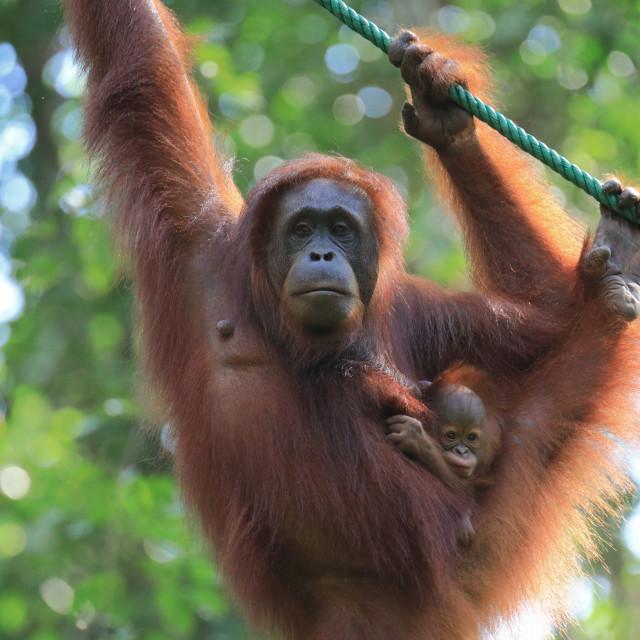 """Bornean Orangutan mother and baby"" stock image"