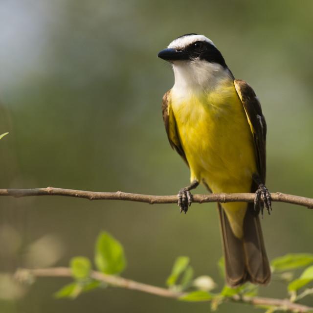 """A Great Kiskadee, Pitangus sulphuratus, perching, Pantanal, Mato Grosso, Brazil."" stock image"