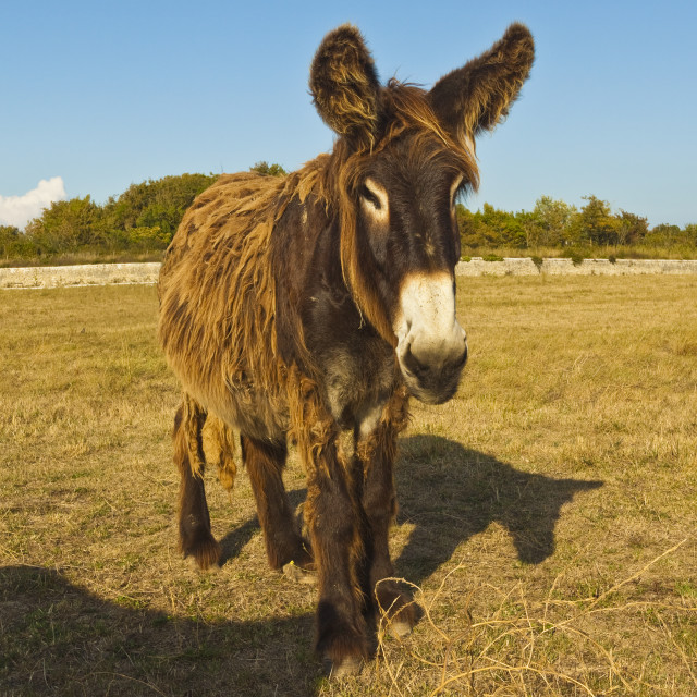 """'Woolly' donkey, a rare type (Baudet du Poitou) once used to carry salt. St..."" stock image"