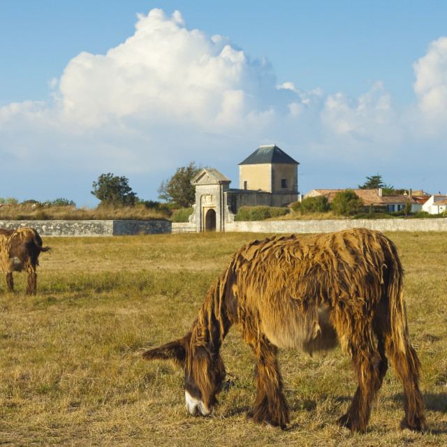"""'Woolly' donkeys, a rare type (Baudet du Poitou) once used to carry salt. St..."" stock image"