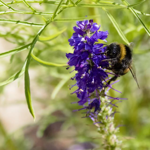 """""""Bumble Bee II"""" stock image"""