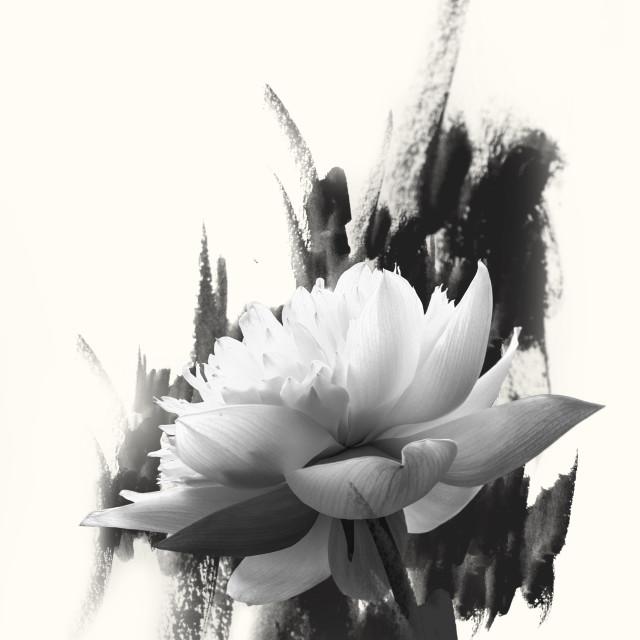 """Lotus in black n white"" stock image"