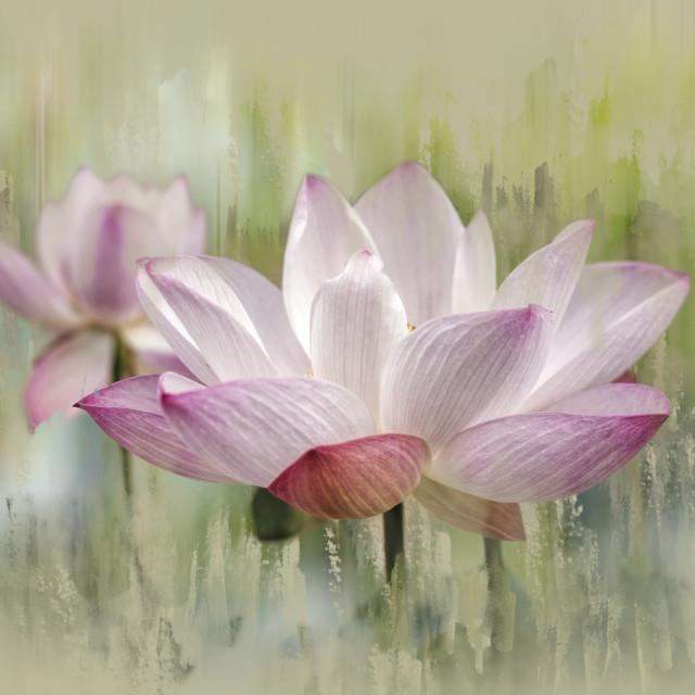 """Two Lotuses"" stock image"