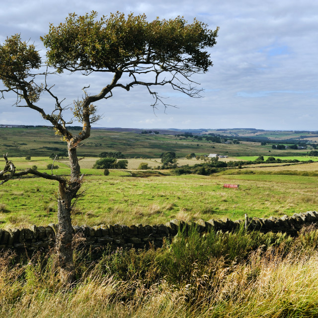"""Tree and stone wall near Waskerley, County Durham"" stock image"