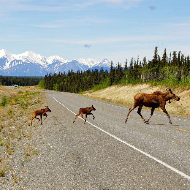 """Moose with two calves crossing highway"" stock image"