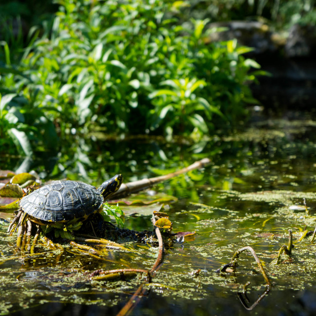 """""""Turtle in the pond"""" stock image"""