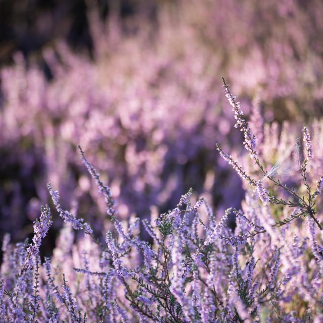 """Purples"" stock image"