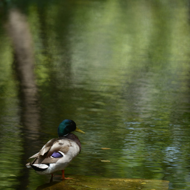 """""""Duck In Water"""" stock image"""