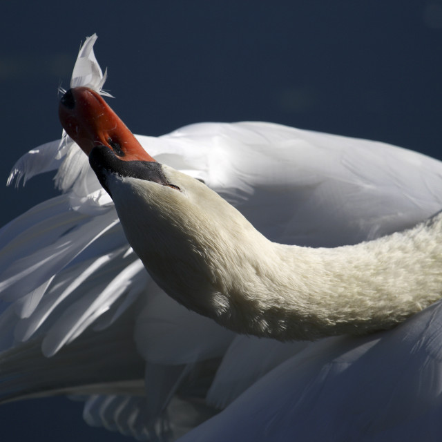 """""""Swan (cygnus olor) in Cantabria"""" stock image"""