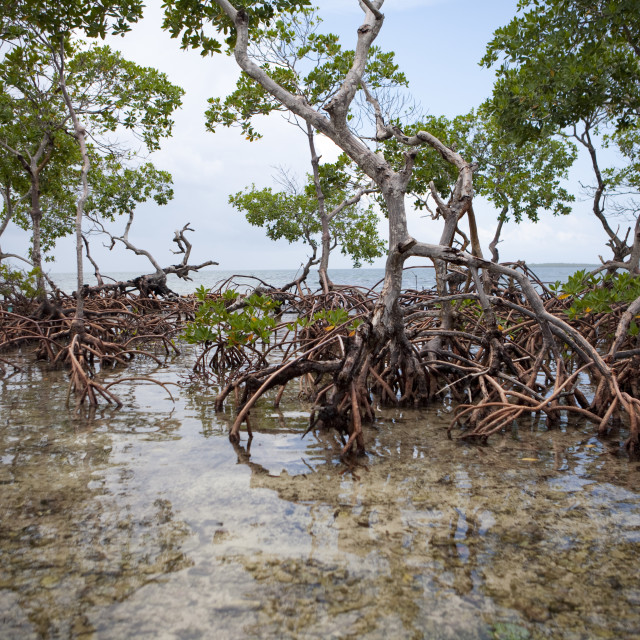 """""""a tall cluster of mangroves grow out of the sand"""" stock image"""