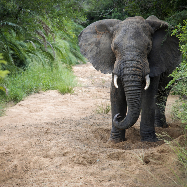 """""""Elephant at Hluhluwe-Imfolozi Game Reserve in South Africa."""" stock image"""