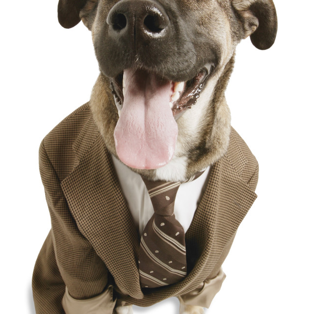 """A Dog With A Suit"" stock image"
