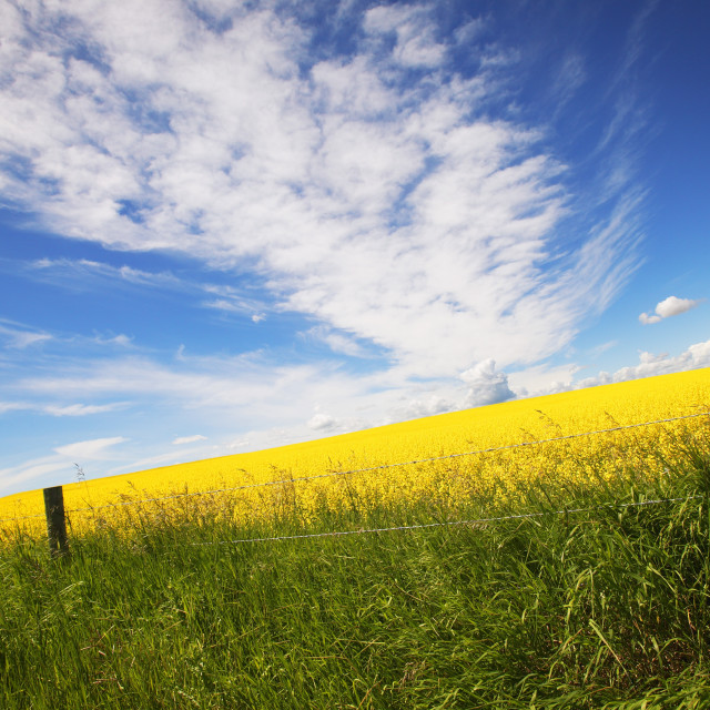 """""""A Barbed Wire Fence Against A Field Of Canola"""" stock image"""