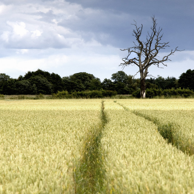"""""""Wheat Field, North Yorkshire, England"""" stock image"""