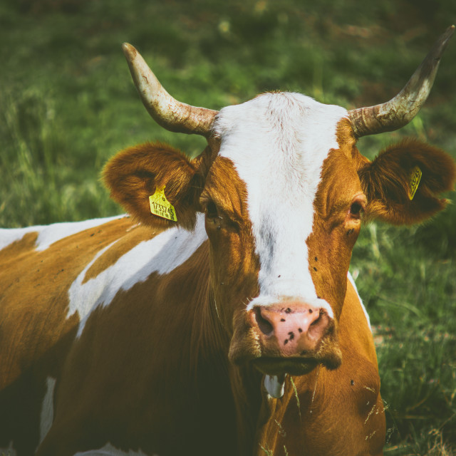 """An Alpine Cow"" stock image"