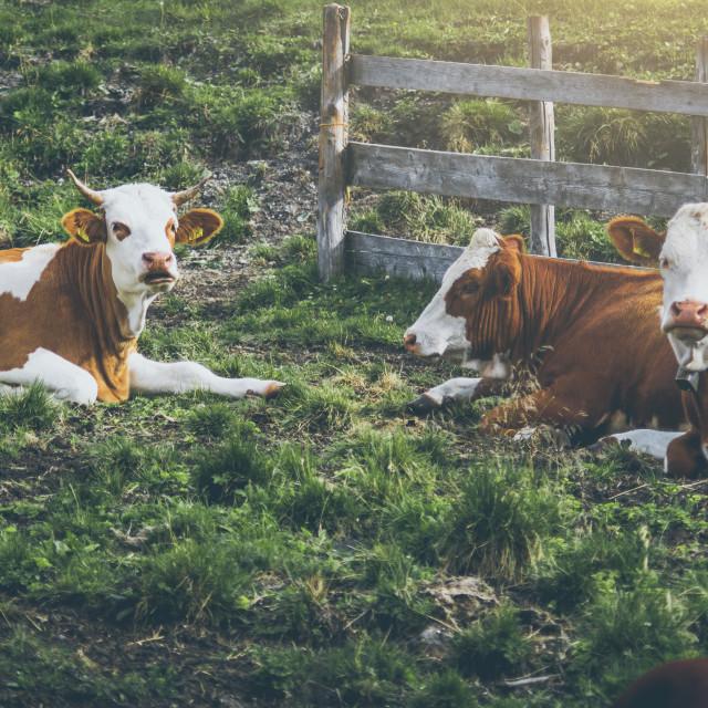 """""""Alpine Cows"""" stock image"""
