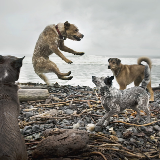 """""""Dogs Fighting On Beach"""" stock image"""