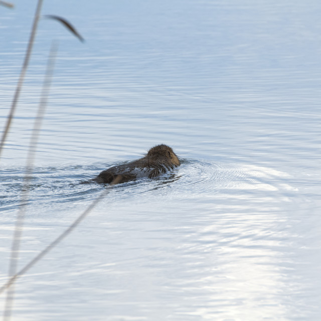 """Coypu Swimming Away"" stock image"