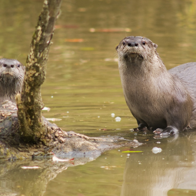 """River Otters At Oaks Bottom Wildlife Refuge; Portland, Oregon, Usa"" stock image"