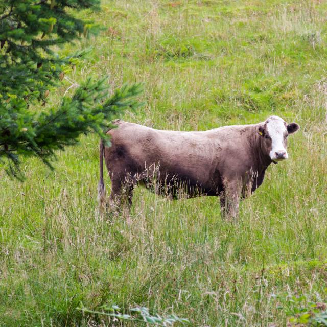 """Big perky bull on Scottish pasture looking straight"" stock image"