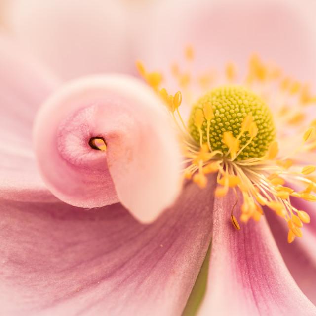 """Furled petal"" stock image"