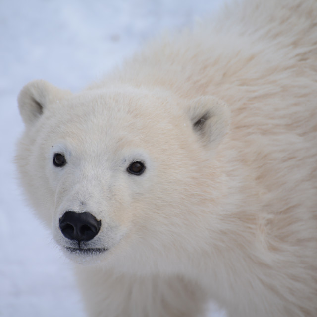 """Polar bear cub"" stock image"